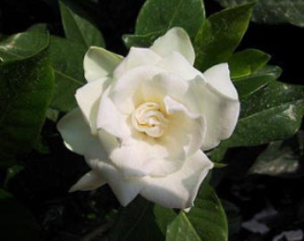 how to make gardenia essential oil at home