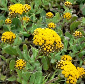 Sources: Helichrysum italicum, the Everlasting or immortal flower