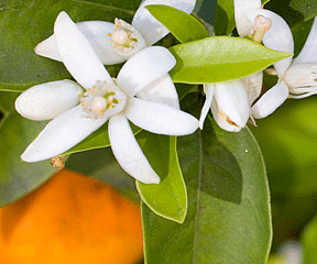 Neroli Essential Oil Uses And Review Natureisamother Org
